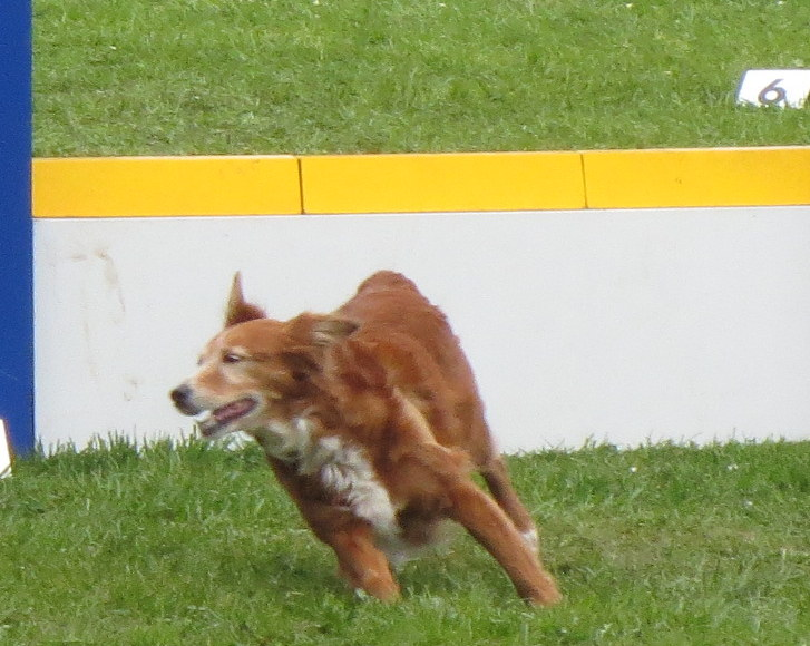 dressage chien bresles